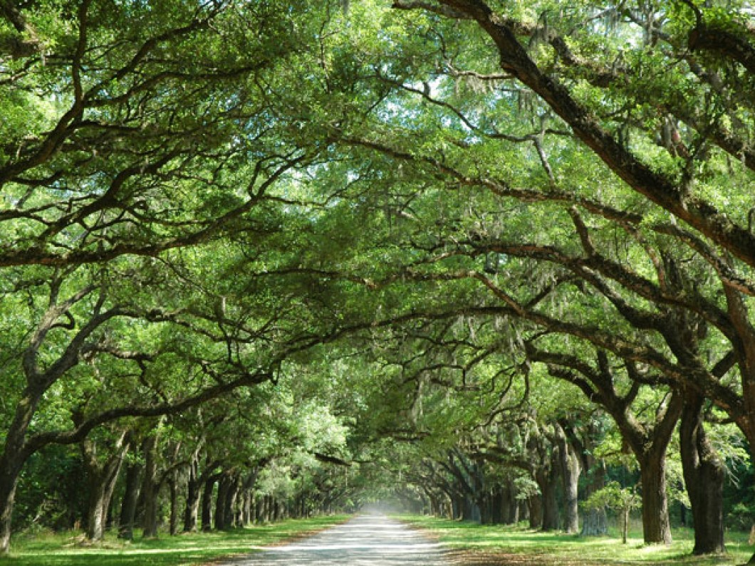 bigstock-Oak-Tree-Along-Country-Road-4704712